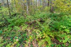 Birch forest covered with ferns (Polystichum braunii) Stock Photo