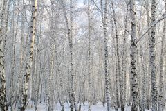 Birch forest with covered snow branches royalty free stock image