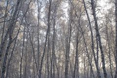 Birch forest with covered snow branches stock images