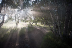 Birch forest. The dam on the morning morning mist shrouded repeatedly light birch forest gap through the waterfall from the branches and leaves Royalty Free Stock Images