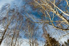 Birch forest. In daylight against the blue sky stock image