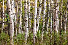 Birch forest. Dense stand of birch trees in early fall, Minnewaska State Park, New York Royalty Free Stock Photos