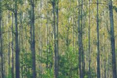 Birch forest detail, in late summer Stock Image