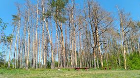 Birch forest in early spring in sunny day. High contrast of almost plain trees and sharp blue sky behind. Something that makes you stare all day long royalty free stock image