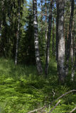 Birch forest in the early summer. Stock Images