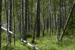 Birch forest in the early summer. Royalty Free Stock Images