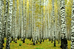 Birch forest, Ekaterinburg, Russia royalty free stock photo