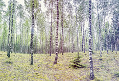 Birch forest, Europe Royalty Free Stock Photo