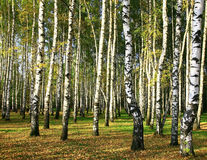 Birch forest in the evening sunshine Stock Images