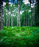 Birch forest and fern. Birch forest, lush fern foliage in the foreground stock photo
