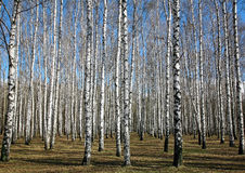 Birch forest in first days of spring Royalty Free Stock Image