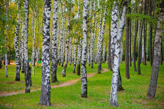 Birch forest with footpath Stock Images