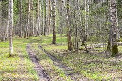 Birch forest forest road spring green leaves on tree branches. Green grass sun rays Stock Images