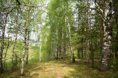 Birch forest green grass day summer and radiant. The breath of wet herbs and the scent of birch leaves royalty free stock image