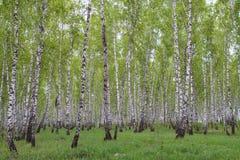 Birch forest. Birch green forest in summer stock photo