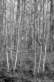 Birch forest. Groupings of birch trees in wintertime Stock Photo