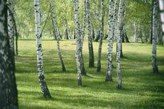Birch forest. Birch Grove. White birch trunks stock image