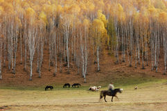 Birch Forest and Herdsman. Located in the northern part of Xinjiang Uygur Autonomous Region, near China's borders at Mongolia, Russia and Kazakhstan, Hemu is a royalty free stock images