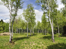 Birch Forest Stock Images