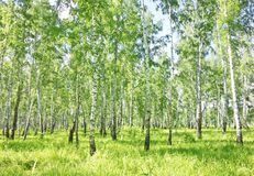 Birch forest. Image of summer birch forest stock photography