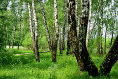 Birch forest in June Royalty Free Stock Image
