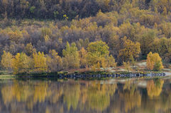 Birch forest landscape in autumn Royalty Free Stock Photo
