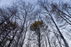 Birch forest in late autumn Stock Photo