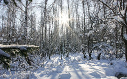 Birch forest, lit by the sun in winter Stock Image