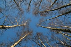 Birch forest looking up stock photography