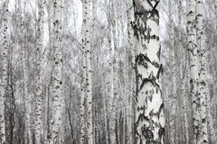 Birch forest, many beautiful birches in early spring Stock Photography