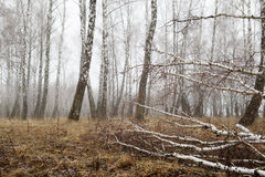 Birch forest with melting snow in spring Stock Photo