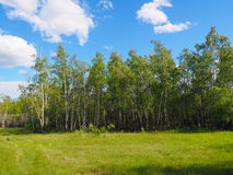 Birch forest and mesophilic meadow stock images