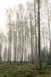 Birch forest. Royalty Free Stock Photography