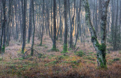 Birch forest, moss on trees Stock Photos