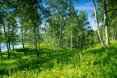 Birch forest near lake. Landscape royalty free stock images