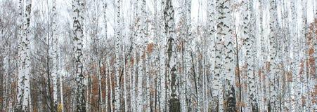 Birch forest in october. Beautiful scene in autumn birch forest in october royalty free stock photo