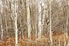 Canadian Birches on Rainy Day. Birch forest in Ontario, Canada, on a drizzly day with low light.  The light made the bark seem to glow Royalty Free Stock Photo