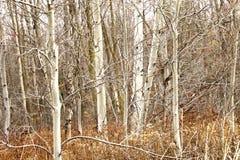 Canadian Birches on Rainy Day Royalty Free Stock Photo