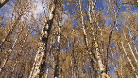 Birch forest pan. Video of birch forest pan stock video