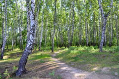 Birch forest. The path in the birch forest on a summer morning Stock Photography