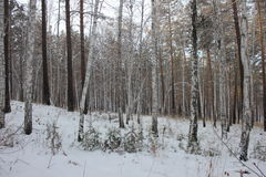 Birch forest. Photo taken on 25.11.2016 Stock Photography