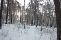 Birch forest with pine. Birch and pine forest photo Stock Photo