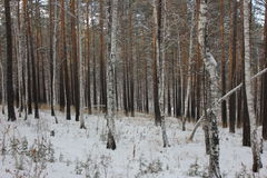 Birch forest with pine. Birch and pine winter forest photo Stock Images