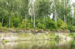 Birch forest on the river bank Stock Photos