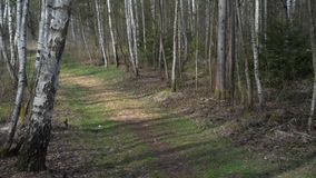 Birch forest road pathway, sunny spring. Day stock video