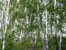 Birch forest. Russia Royalty Free Stock Photography