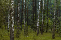 Birch forest in Russia Royalty Free Stock Image