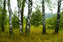 Birch forest in Russia Stock Images