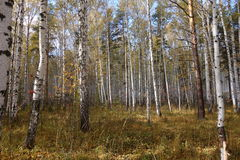Birch forest. Russian taiga birch tree forest Stock Photography