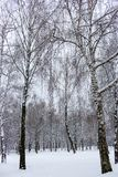 Birch forest in snow. Freeze and snow background. Winter weather concept. Winter landscape. Christmas concept. Winter beauty stock photography